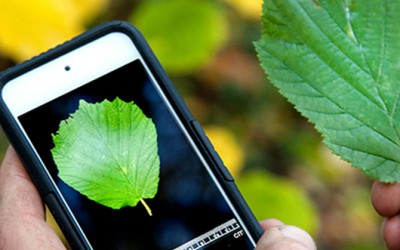 Using the Leafsnap UK app to identify a tree from its leaf