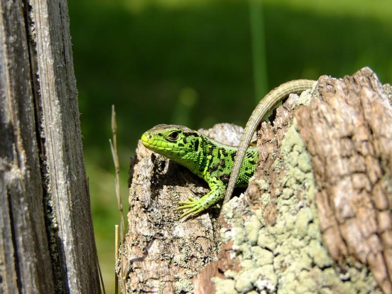 lizard-1877687_960_720