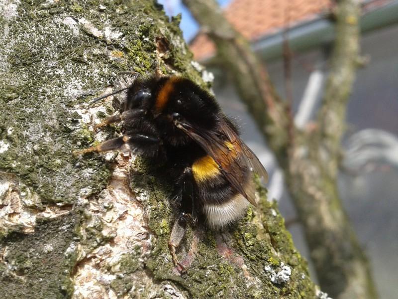 bumble-bee-101419_960_720
